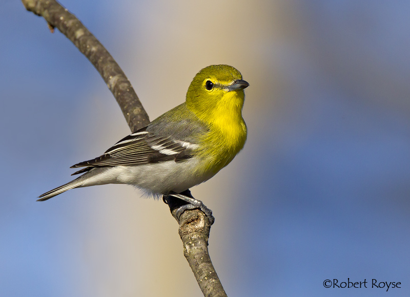 Yellow throated vireo fall - photo#48