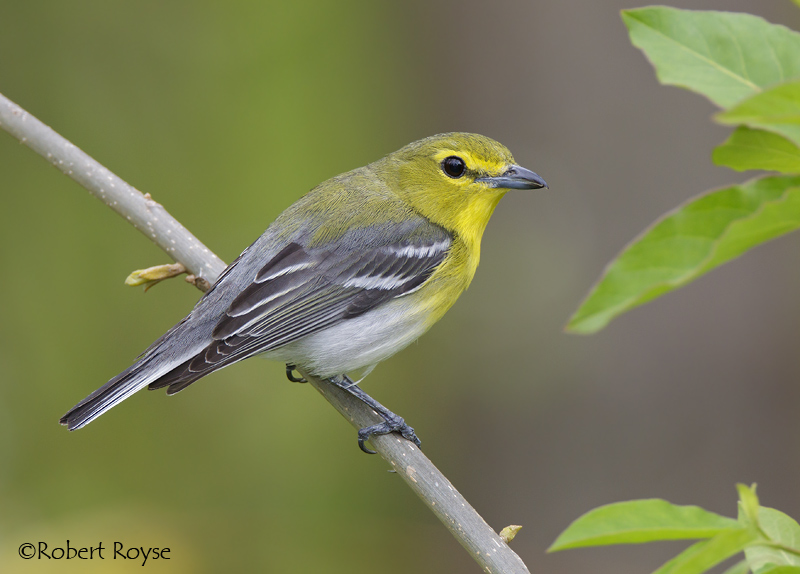 Yellow throated vireo fall - photo#31