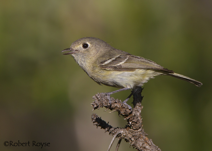 Vireo - photo#19
