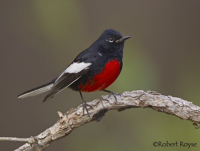 Painted Redstart Picture