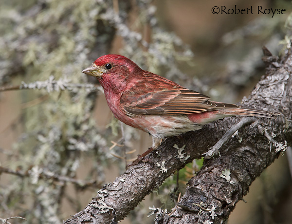 Image result for purple finch michigan