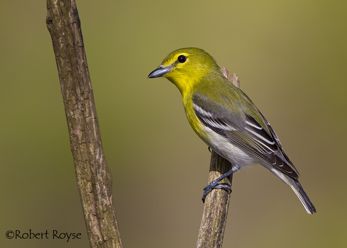Yellow throated vireo fall - photo#38
